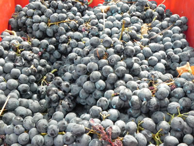 Darnekusa grapes