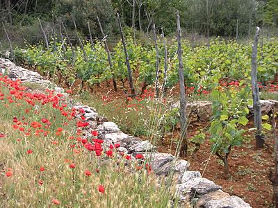 Vineyard in the Stari Grad Plain