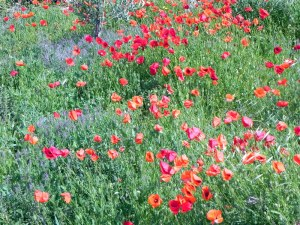 Poppies and more poppies