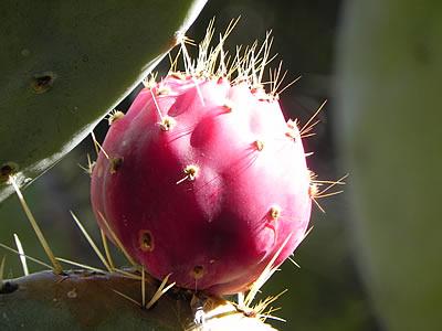 Palmižana prickly pear