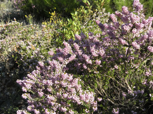 Purple heather by the roadside