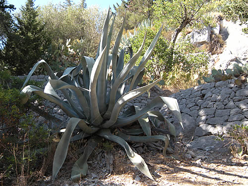 Agave americana growing in Hvar