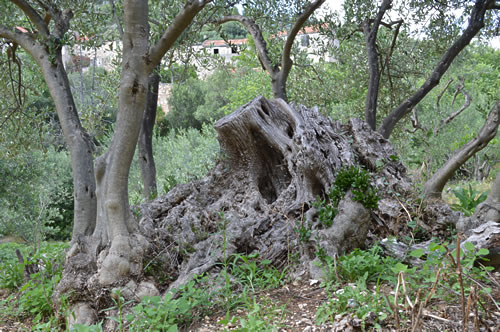 Stump of an old olive tree