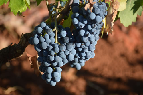 Plavac Mali grapes