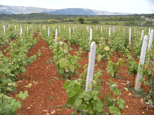 Vineyard on the Stari Grad Plain