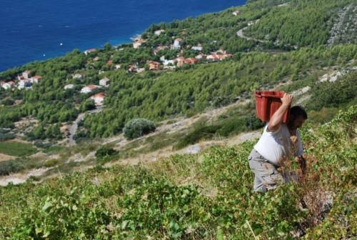 Ivo Carić works the south beach vineyard. Photo courtesy of Ivana Carić
