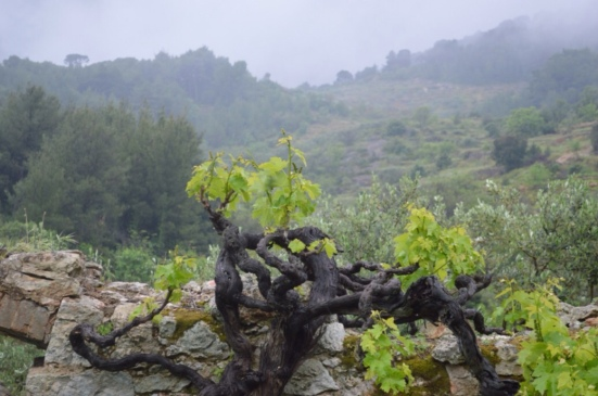 New growth on the old vines
