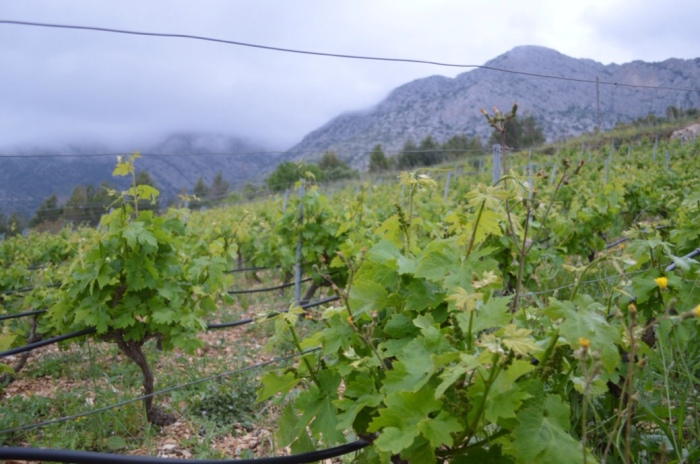 Five year old vines near Ivan Dolac
