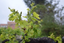 Fresh season's growth on old vines