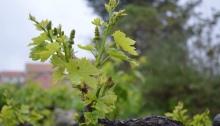 Fresh season's growth on old vines