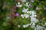 Very delicate white flowers