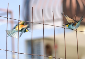 Bee-Eaters feeding