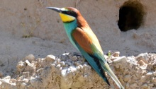 Bee-Eater in front of burrow