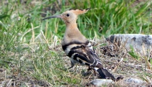 Hoopoe in the Grass