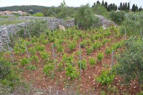 Protected vineyard surrounded by walls