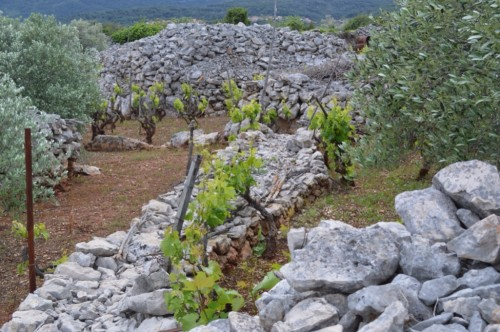 Stone, vines and olives - the essence of the Stari Grad Plain