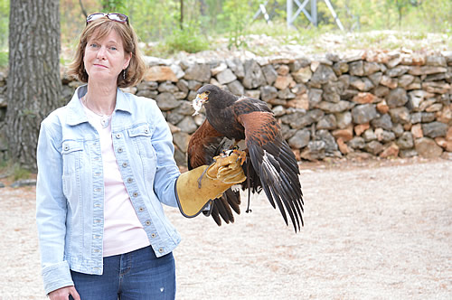 Up close and personal with a Harris hawk