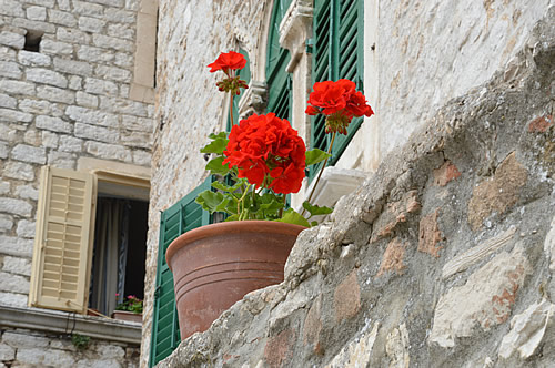 Red geraniums, green shutters