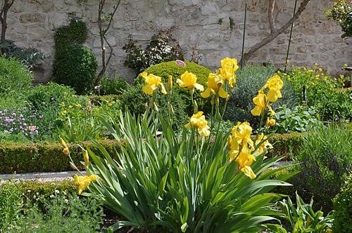 Iris in the monastery garden