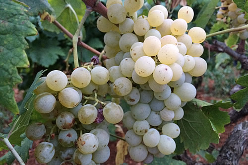 Bogdanuša grapes