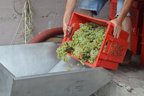 Tipping the grapes into the destemmer