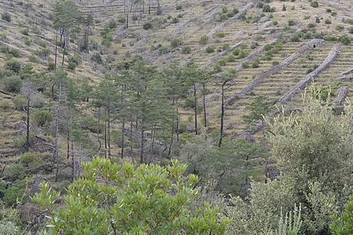 Dalmatian black pines, Hvar