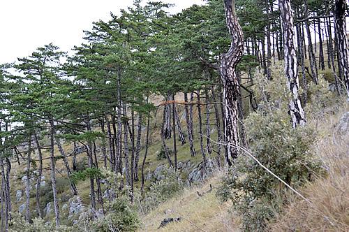 Dalmatian black pines on the slopes of Sv Nikola