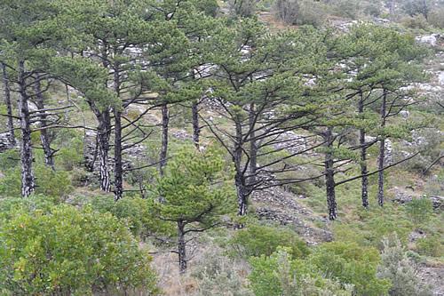 Dalmatian black pines
