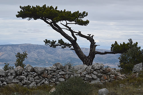 Black pine with another great view over Brač