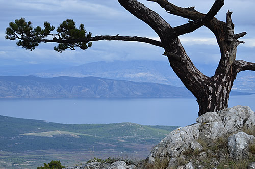 Dalmatian black pine on Hvar, view of Brač