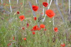 Poppies in the vineyard