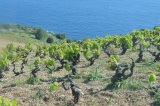 May in the Vineyards ofHvar