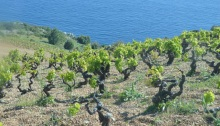 Vines above Ivan Dolac