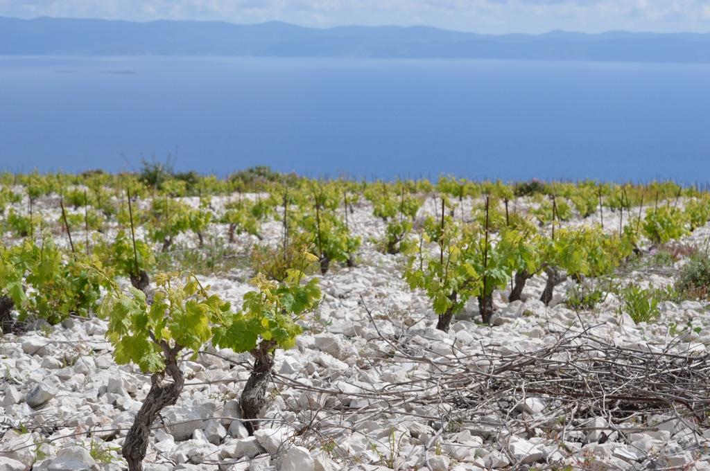 High vineyard overlooking Korčula