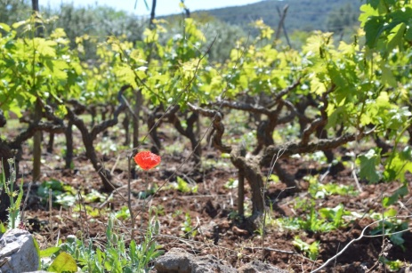 Flat vineyards, rich soil