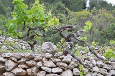 Gnarly old vines