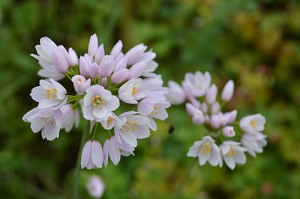 Allium roseum Rosy garlic Ružičasti luk White and pink versions exist. The pink flowers are a tasty garnish for salads. spring