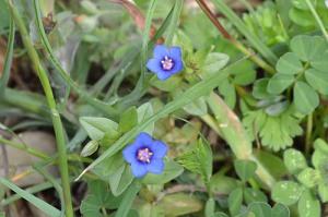 anagallis-arvensis-blue-pimpernel