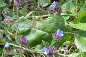 Anchusa arvenensis / officinalis (Eng: Bugloss, Hr: Volujak?)