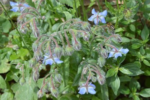 Borage officinalis (Eng: Borage or starflower, Hr: Boražina)