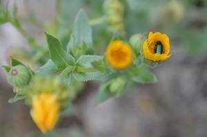 Calendula arvensis (Eng: Field marigold, Hr: Neven (calendula officinalis) spring