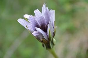 Cichorium intybus (Eng: Chicory, Hr: Cikorija)
