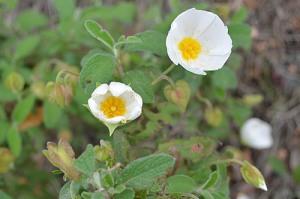 cistus-white-rockrose