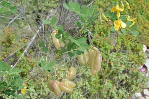 Colutea-arborescens-bladder-senna