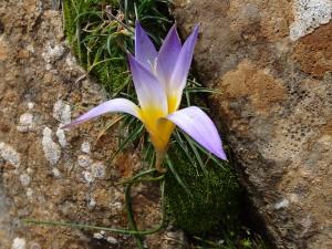 Crocus biflorus (Eng: Silvery crocus, Hr: šafran)