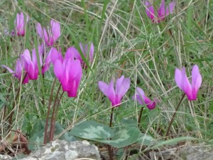 Cyclamen repandum (Eng: Spring sowbread, Hr: Primorska ciklama) March - May