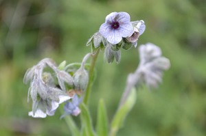 cynoglossum-creticum-blue-hounds-tongue