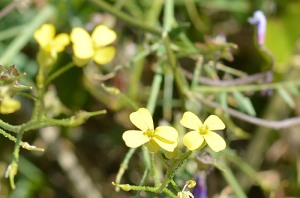 Diplotaxis tenuifolia (Eng: Perennial wall-rocket, Hr: Uskolisni dvoredac)