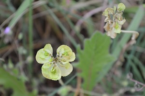 Euphorbia characias (Eng: Mediterranean spurge, Hr: Velika mlječika)