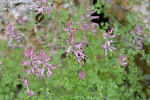 Fuminaria officinalis (Eng: Fumitory, Hr: Dimnjača)